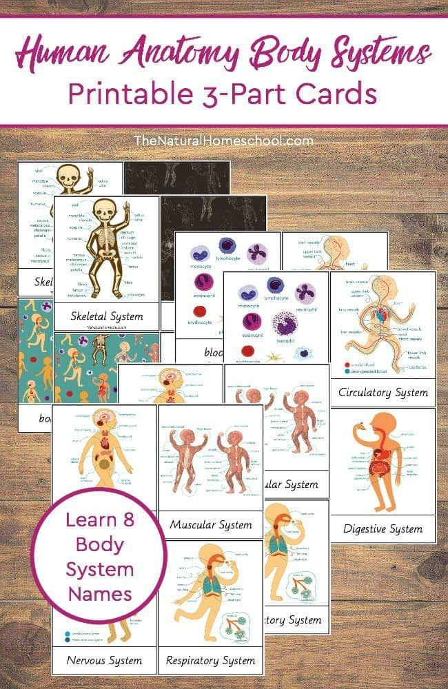 Human Anatomy Body Systems Printable 3-Part Cards