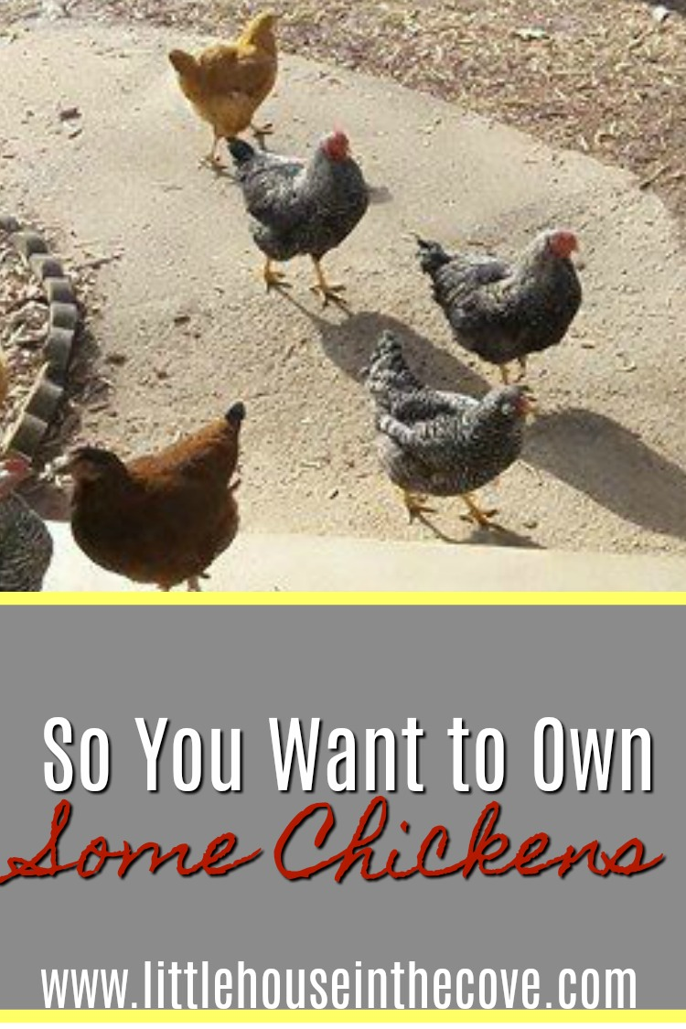 So you have decided that you want to own some chickens. Here are a few things for you to remember so that you can have a wonderful experience.
